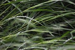 Wet grass. Close up background. Wet grass with big rain drops Stock Photos
