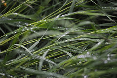 Wet grass. Close up background. Wet grass with big rain drops Royalty Free Stock Photo