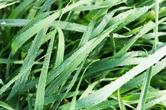 Wet grass closeup Stock Photography
