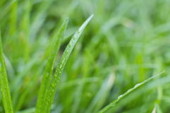 Wet Grass Detail Royalty Free Stock Image