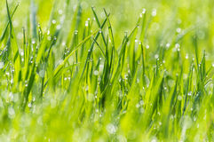 Wet grass dew blurred background meadow sunlight bokeh. Wet grass on a blurred background meadow, dew glistening with sunlight, bokeh royalty free stock photos