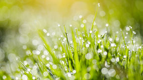 Wet grass in dew drops Royalty Free Stock Photography