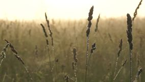 Wet grass with dew drops early in the morning on a meadow. Early morning. Wet grass with dew drops early in the morning on a meadow stock footage