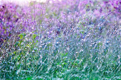Wet grass with dew drops on summer  blossoming meadow Royalty Free Stock Images