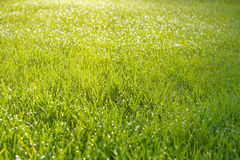 Wet grass field with dew drops Royalty Free Stock Photo