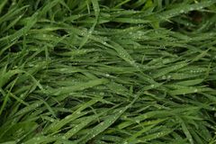 Wet grass Royalty Free Stock Photos