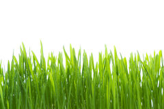 Wet grass isolated on white background Stock Photography