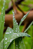 Wet grass leaves with water drops in morning dew light Stock Images