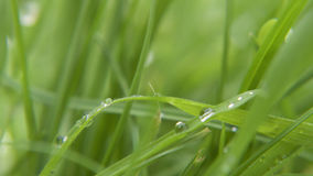Wet grass macro. Wet droplets of water on grass, drying in the sun Royalty Free Stock Photo
