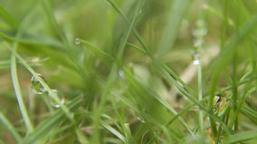 Wet grass macro. Wet droplets of water on grass, drying in the sun Stock Photography