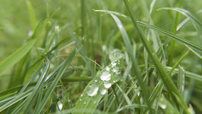 Wet grass macro. Wet droplets of water on grass, drying in the sun Royalty Free Stock Photography
