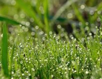 Wet grass with many morning dewdrops Stock Photos