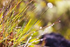 Wet grass. In morning meadow Stock Image