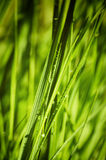 Wet Grass. Photo of  Wet Spring Green Grass Royalty Free Stock Images