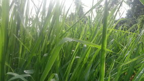 Wet Grass. Picture of Wet grass in Morning dew Royalty Free Stock Photos