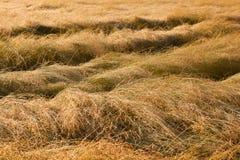 Wet grass prairie. The dried prairie grass in dew stock image