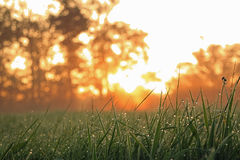 Wet grass at sun rise. Ground level shot of wet grass at sun rise with trees on the background Royalty Free Stock Photo