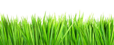 Wet grass on white background. Wet green grass, isolated on white background Royalty Free Stock Photography