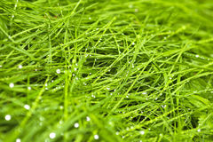 Wet grass. Stock Photography