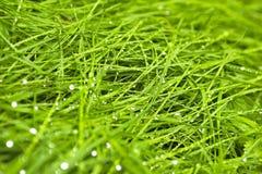 Wet grass. Young green summer wet grass after rain stock photography