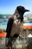 Wet gray crow Royalty Free Stock Photography