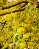 Wet green apples in summer season after rain Royalty Free Stock Image