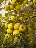Wet green apples in summer season after rain Royalty Free Stock Images