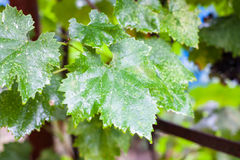 Wet green grape leaf in the rain Stock Photos