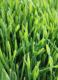 Wet green grass. Close up of a green grass. Selective focuse Royalty Free Stock Photo