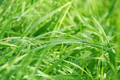 Wet Green Grass. With Dew on Leaves Stock Photos