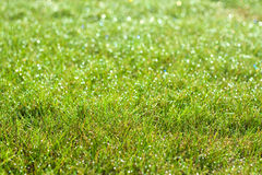 Wet green grass close up background Stock Photo