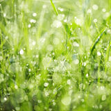 Wet green grass in dew drops Stock Image