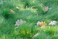 Wet Green Grass with Fallen Oak Leaves Royalty Free Stock Photos