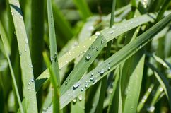 Wet Green Grass. Background in Sunny Day Royalty Free Stock Photos