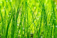 Wet green grass. Closeup view Royalty Free Stock Image