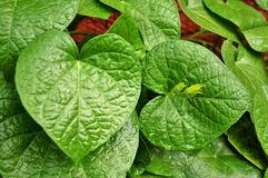 Wet green heart shaped leaves . Stock Photography