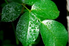 Wet green leaf. Fresh green leaf of a rose bush covered with rain drops Royalty Free Stock Photography
