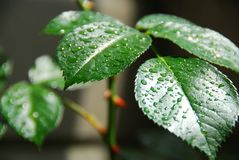 Wet green leaf. Fresh green leaf of a rose bush covered with rain drops Royalty Free Stock Image