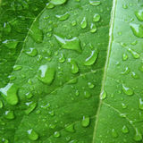 Wet green leaf. Green leaf covered by water drops. Squared composition Stock Photos