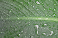 Wet green leaf as a background. Royalty Free Stock Photo