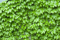 Wet green leaf background in. A raining day Stock Image
