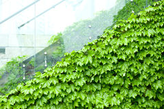 Wet green leaf background in. A raining day Stock Photography