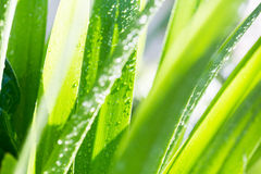 Wet green leaf Royalty Free Stock Photography