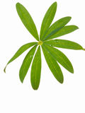 Wet green leaf. Wet beautiful carved green leaf lupine plants on white background Stock Photography