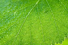 Wet green leaf of a birch close up macro Stock Photography