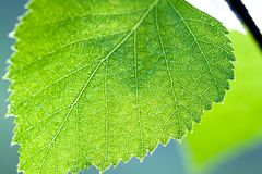 Wet green leaf of a birch close up macro Royalty Free Stock Image