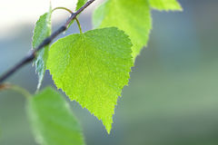 Wet green leaf of a birch Royalty Free Stock Photo