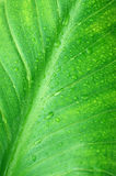 Wet green leaf close-up Royalty Free Stock Images