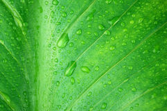 Wet green leaf close-up Stock Images