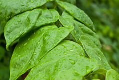 Wet green leaf in forest Stock Images